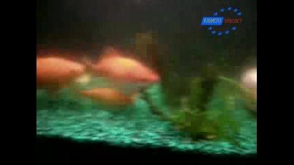 Световен Рекорд - Най - Дебелата Златна Риба