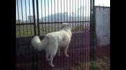 Чобанско куче