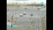 Пойни лебеди край Русе - За първи път от 30 години ! 2