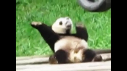 Панда избухва на рап
