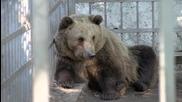 Изпратиха мечките Бойка и Станди в дом парка за танцуващи мечки в Белица