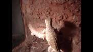 Саванен варан (varanus exanthematicus)