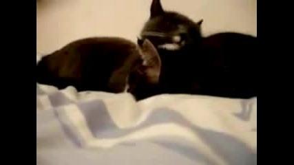 Говорещи Котки