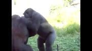 Youtube - Gorilla Fight