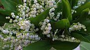 Момина сълза - Бялата Нежност на Пролетта
