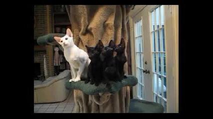 Танц на група от котки сфинкс - и това ако не е синхрон