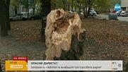 Защо не са премахнати маркирани опасни дървета в Борисовата градина?