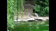 Пингвини гонят пеперуда ..! Много яко ..