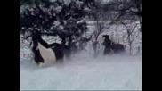 Horses *gipsy Vanner* - Играят си в сняг!