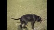 Куче Питбул