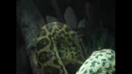 Хранене На Анаконда В Зоопарка