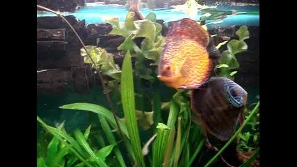 моят аквариум с дискуси - 2