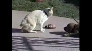 Puppy Golden Retriver Fight With Big cat