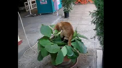 Лудо коте