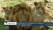 Ограничават отглеждането на лъвове в плен в Южна Африка