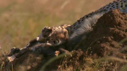 Родени в Африка: бебета гепарди