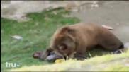 Мечка Разкъсва мъж в зоопарк..(уникални кадри. Видеото не се препоръчва за хора с слаби сърца.))