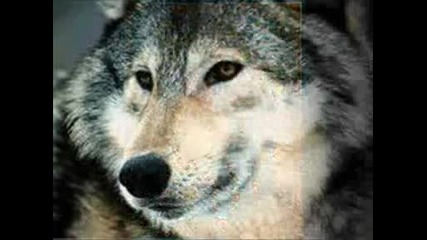 Wolf - Вълк.