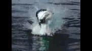 Бели Акули