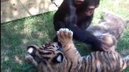 Едно малко шимпанзе, вълк и тигър се срещат за първи път. Тяхната реакция ще стопли сърцето ви!