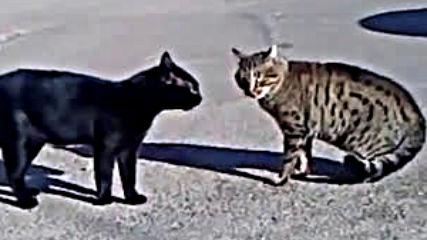 Двама котараци се карат.