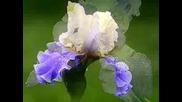 Irises - kitaro