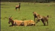 Хиени на лов за антилопи..