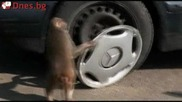 Дай на маймуната кола и и гледай сеира