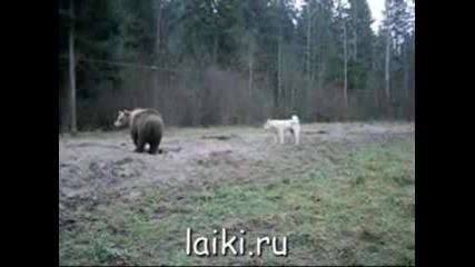 Лайка И Мечка