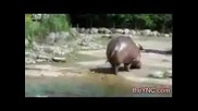 Хипопотам с диария !