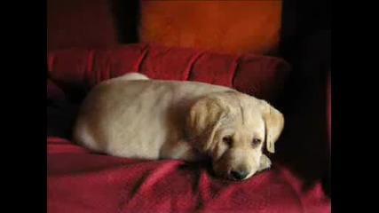 Labrador Retriever [h]