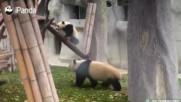 Бебе панда се учи да се катери
