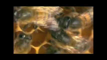 Nature Silence of the Bees Inside the Hive Pbs