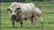 Най-мускулестия Белгийски бик който сте виждали