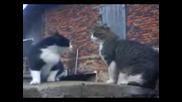 (котки се карат) Киро и Хектор