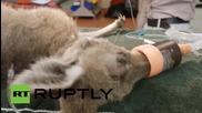 В Австралия спасиха кенгуру, уцелено в главата със стрела