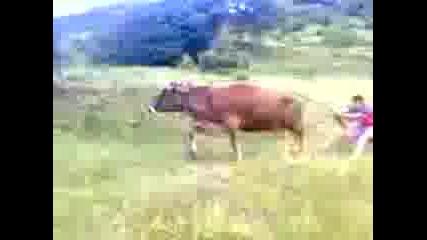 Ски с крава