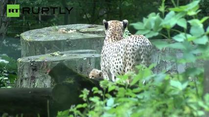 Cheetah Cubs Make Adorable Debut at Rostock Zoo