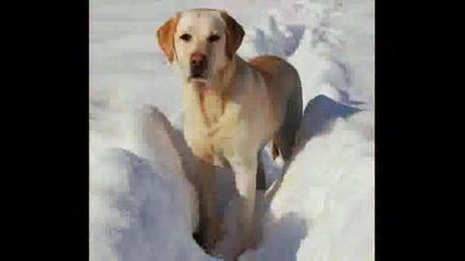 Labradori :P