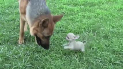Малко кученце си играе с немска овчарка:):)