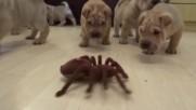 Осем малки Шар пей кученца срещу паяк