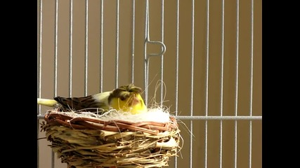 Сладки канарчета - Мама тате и техните рожби