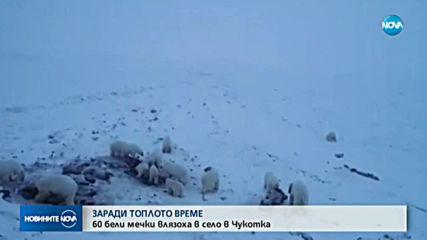 Полярни мечки обсадиха село в Чукотка