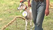 Литовско село избра най-красивата коза на годишен конкурс