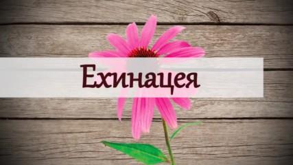 Ехинацея - чудото на природата, което се съдържа във всички имуностимуланти