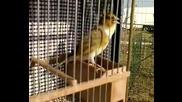 Птици - хибрид песен