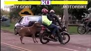 Агресивен козел напада хората на пътя!