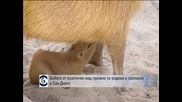 Бебета от екзотичен вид гризачи се родиха в зоопарка в Сан Диего