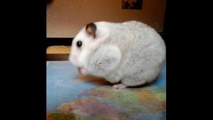 Hamster eats a nut