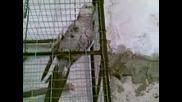 papagal podsvirka